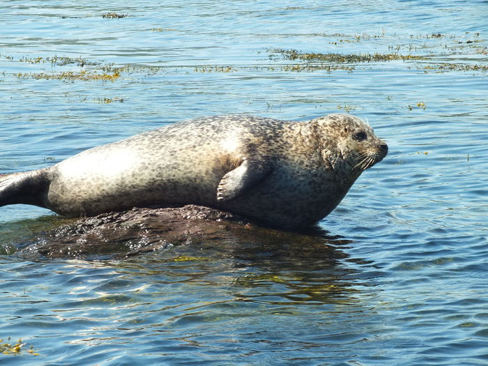 Aquatic Mammal Beauty In Nature Beauty On Our Doorstep Close-up Garnish Island Ireland Natural Photography Nature Sea Seal Tranquility Water West Cork Wildlife From My Point Of View No Filter, No Edit, Just Photography Pet Portraits