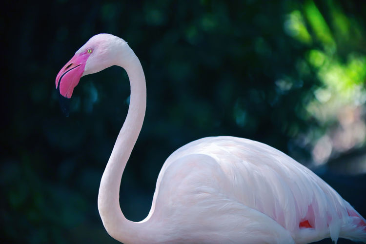 Close-up of pink big bird greater flamingo in pond