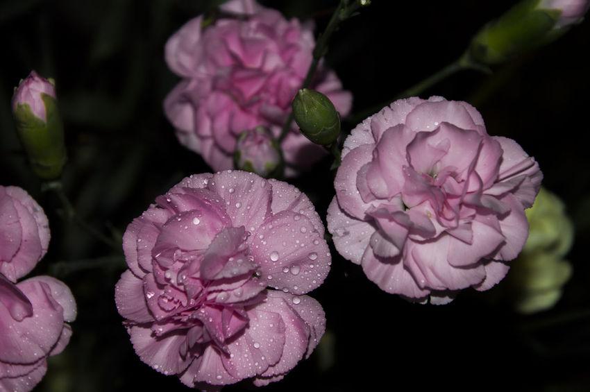 Blumen Carnation Carnation Flowers Carnations Nelken Pink Pink Color Pink Flower Pinke Image Focus Technique Purple Flowers In Bloom Nature Freshness Blossom Flower Head Focus On Foreground Selective Focus Petal Millennial Pink