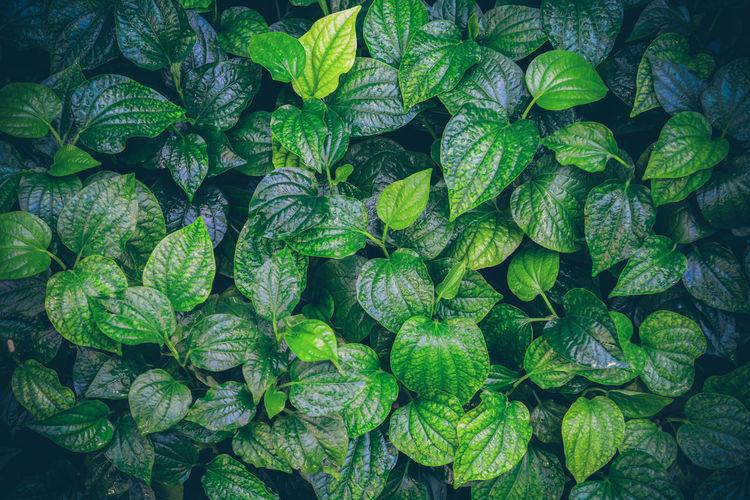 Wildbetal leafbush,tropical green leaf texture background.