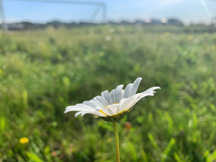 Close-up of white flower on land
