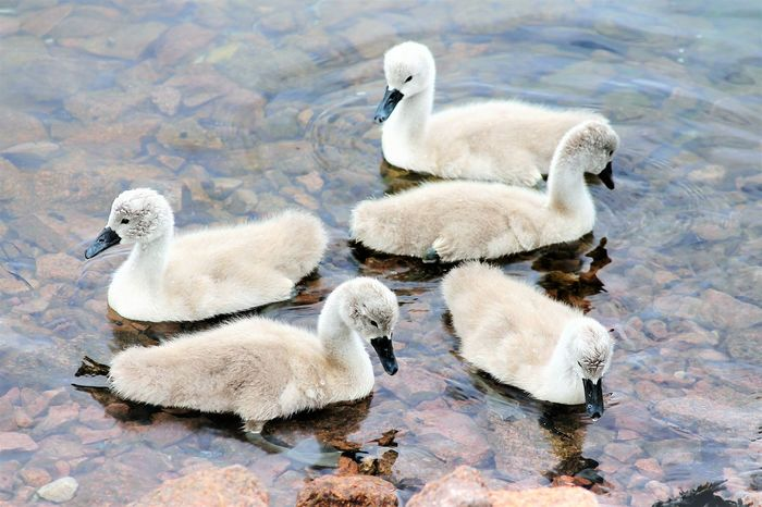 Young Animal Young Bird Animal Family Animal Themes Bird Nature No People Animals In The Wild Water Outdoors Beauty In Nature Gosling Premium Collection Premium Animal_collection Eyem Gallery Nature_collection Oslo Fjord Nature Photography Bird Photography Birds Of EyeEm