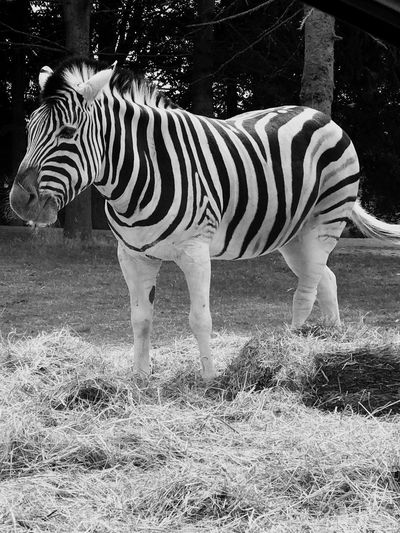 Zebra Love Animal Themes Animal Mammal Animal Wildlife Vertebrate Animals In The Wild Striped