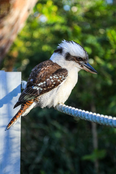 Kookaburra perched on rope Australia Kookaburra Laughing Animal Themes Animal Wildlife Animals In The Wild Australian Wildlife Bird Close-up Day Full Length Kingfisher Laugh Nature No People One Animal Outdoors Perching