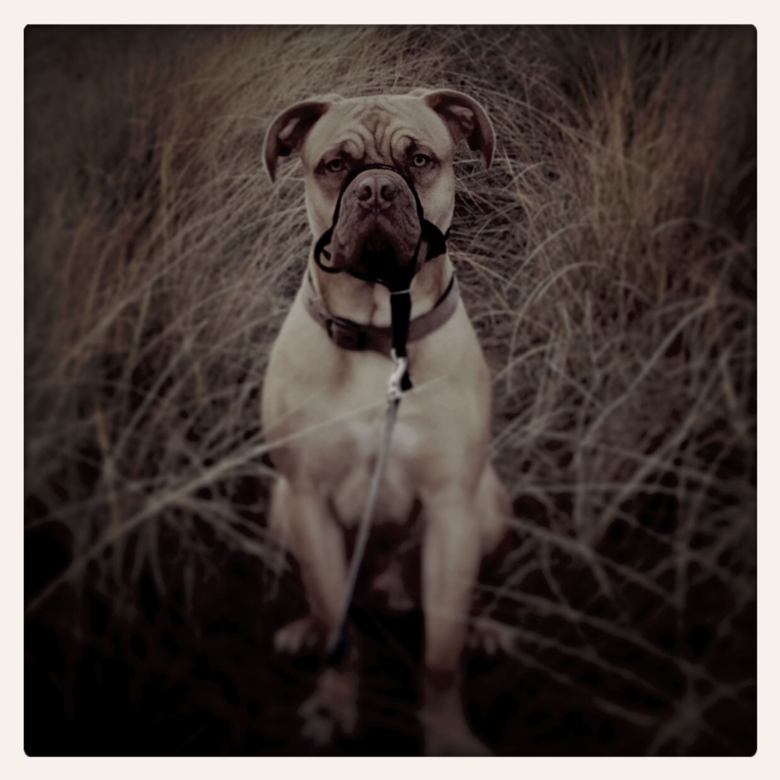 transfer print, auto post production filter, one animal, domestic animals, dog, portrait, looking at camera, animal themes, pets, young adult, field, lifestyles, grass, mammal, full length, front view, leisure activity, standing