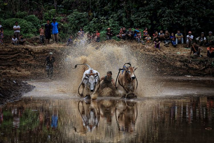 Bull race also known as pacu jawi in action Adult Bull Race Bulls Day Lifestyles M Mammal Men Outdoors Pacu Jawi People People Watching Real People Reflection Sumatera SumateraBarat Togetherness Traditioanal Water