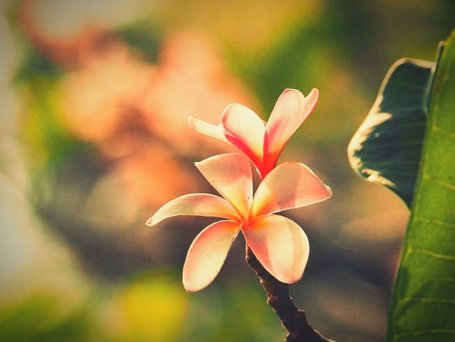 plumeria flower blooming in evening sunset light Plumeria Flowers Plumeria Blossoms Plumeria Tree Temple Tree Flowers Blooming With Sunset Sunset Nature_collection Nature Photography Plant Flower Nature Close-up Beauty In Nature Leaf Growth Outdoors Fragility Day Beauty Flower Head Freshness