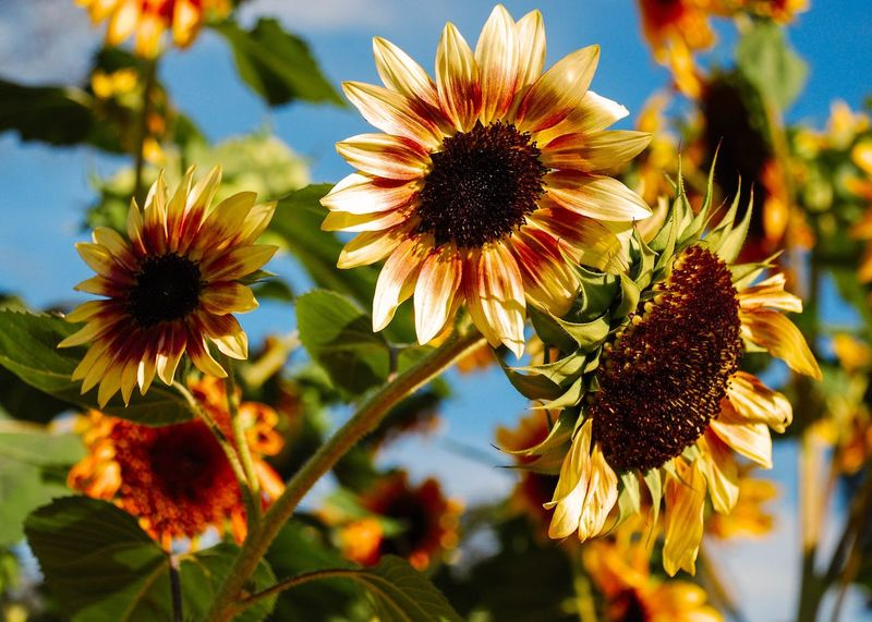 Sunflowers Flower Growth Nature Petal Beauty In Nature Flower Head Freshness Pollen Focus On Foreground Close-up No People Blooming Outdoors Day Sky Flora EyeEm Nature Lover Flower Collection Flowers