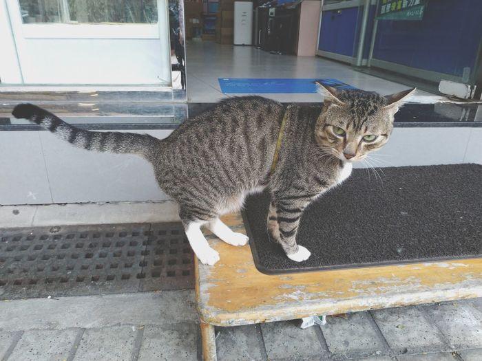 Cat boss Animal