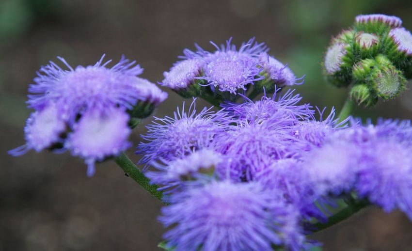 Flower Flowering Plant Freshness Purple Plant Close-up Beauty In Nature Flower Head Nature Day Focus On Foreground Selective Focus No People Springtime Outdoors
