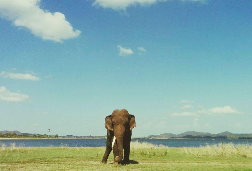 Elephant ♥ National Park Sri Lanka Minneriya National Park Nexus5photography Evening EyeEm Animal Lover Travel Photography Hello World Enjoying Life