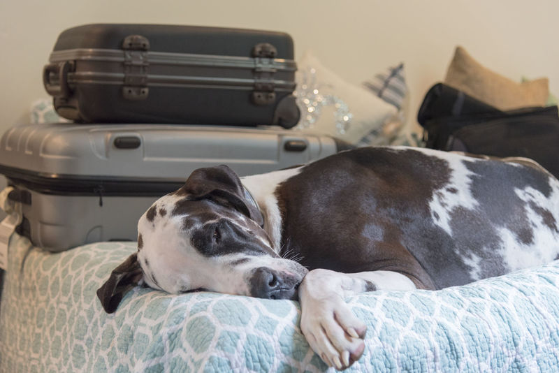 Travel fatigue, sleeping harlequin great dane pet dog on bed with stacked up suitcases luggage. Carry On Travel Animal Themes Baggage Bed Bedroom Close-up Day Dog Domestic Animals Exhausted Fatigue  Great Dane Harlequin Home Interior Indoors  Luggage Mammal No People One Animal Pets Relaxation Sleeping Suitcases Tired