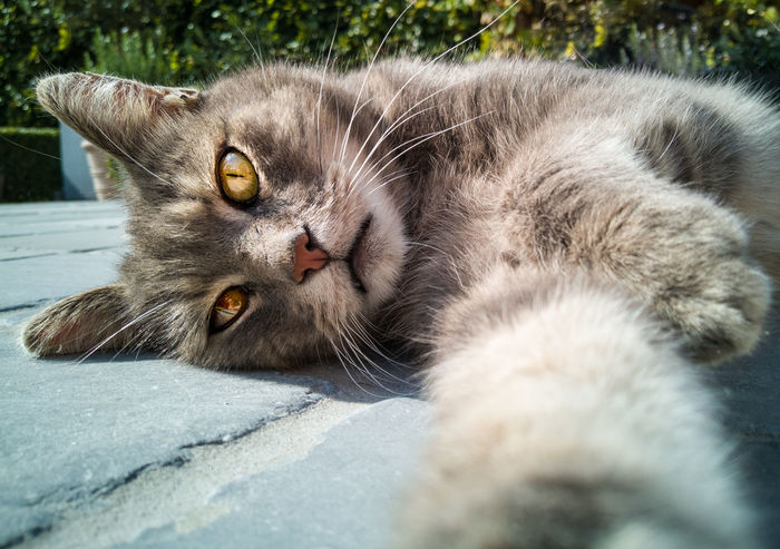 Portrait of cat Cat Close-up Domestic Domestic Animals Domestic Cat Feline Grey Cat Mammal No People One Animal Pets Portrait Of Cat