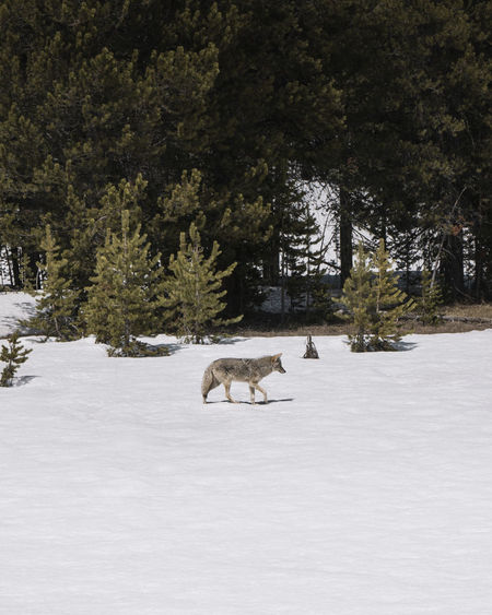 View of a coyote on snow covered land