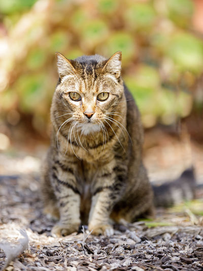 Close-up portrait of tabby cat on field