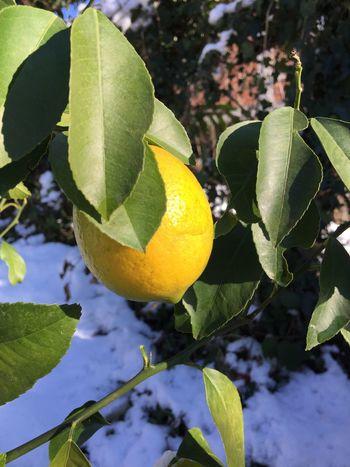 Lemon Natural Organic