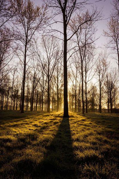 Poplar Trees Sunrise Sunrise Through The Trees In The Woods Milton Keynes Miltonkeynes Willen Lake Woodland Walk Contrast Shadows
