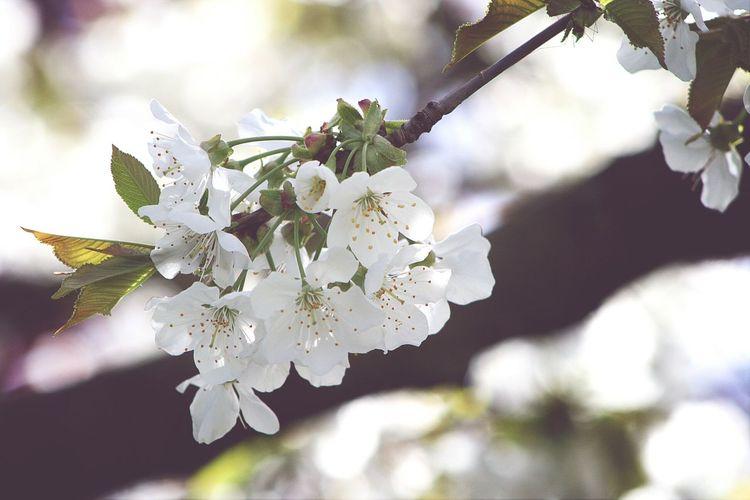Marion/Flower Spring White Cherry