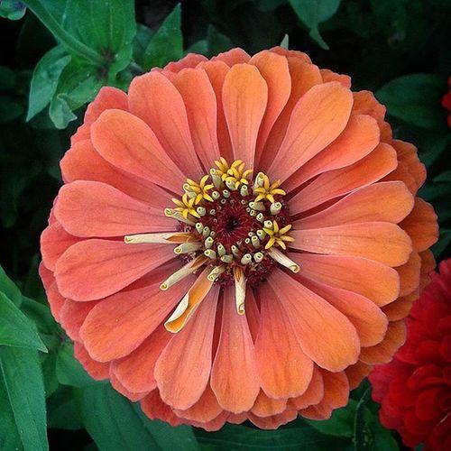 омск сибирскоелето сибирь цветочек цветы цинния Zinnia  Omsk Siberiansummer Siberia Flower