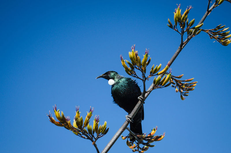 Tui in a flax bush Flax Flowers, New Z Tui Bird Blue Clear Sky Flax Bush Nature Perching Sky