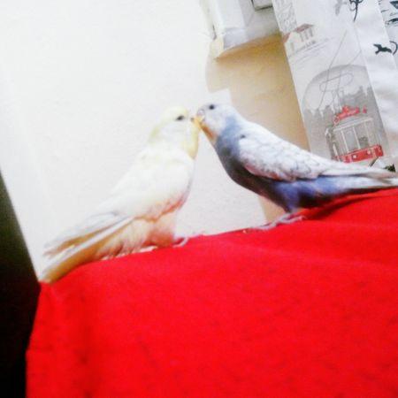 Muhabbetkusu Muhabbet Bird Aşk şirinevler Polis Çevikkuvvet Sarı Mavi Kus