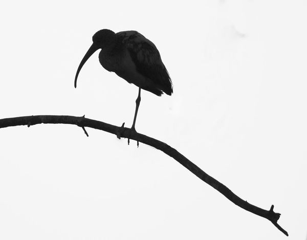 Animal Themes Animal Wildlife Animals In The Wild B&w Photography Bird Clear Sky Day Ibis Low Angle View No People One Animal Outdoors Perching Silhouette