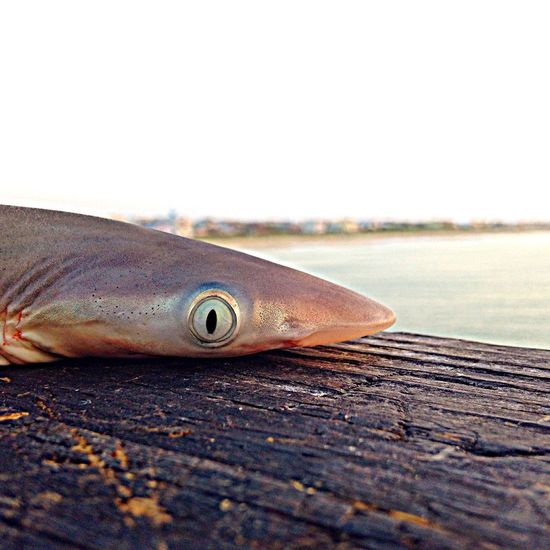 Close-up Kure Beach Nationalgeographic North Carolina Oceanside Pier Shark Shark Week Sharkbait