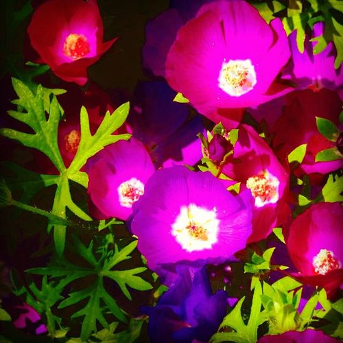 Colors Flowers Spring Pretty Bright Plants Gardening Pink Purple Poisoned_pics_photography Picoftheday Dailyfeature