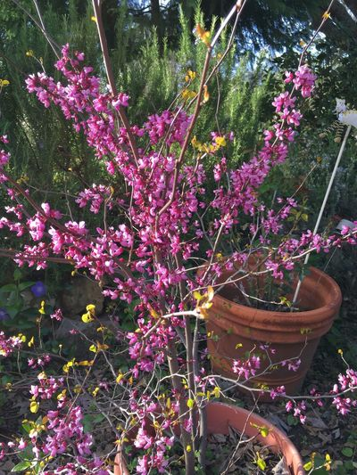 Young Redbud tree in bloom!🌺 Tree Pink Flower Tadaa Community Flowers Blossom Spring Spring Flowers