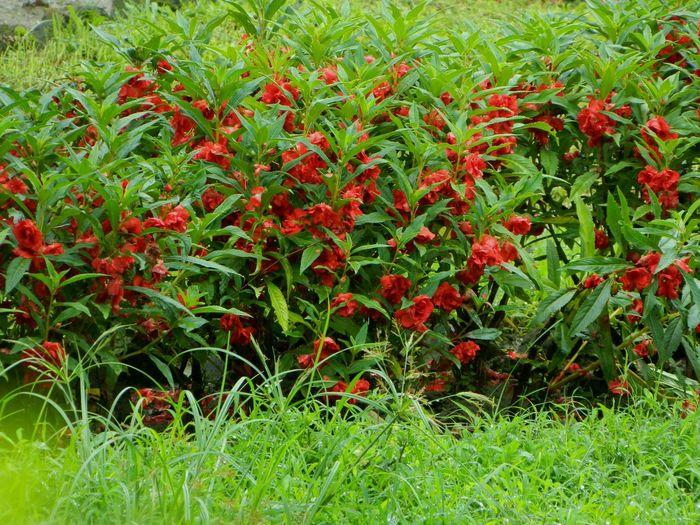 Garden Balsam. Touch_me_not Flowers,Plants & Garden Rose Balsam