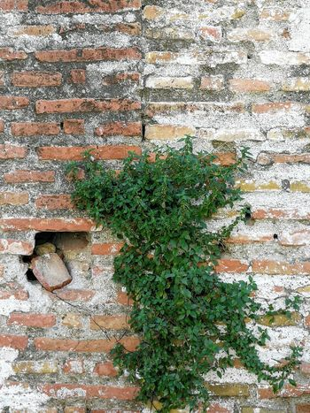 Ruins Plants On The Wall Ivy Backgrounds Full Frame Leaf Architecture Close-up Plant Green Color Brick Wall Creeper Plant Wall Growing