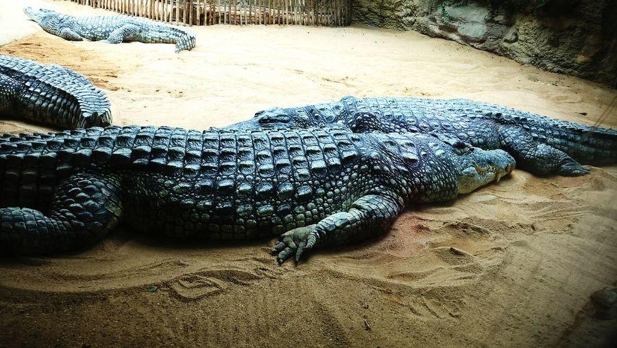Alligator Krokodyl Bestia 😈😂 Wycieczka