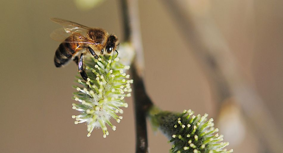 Close-up of bee pollinating on pussy willow