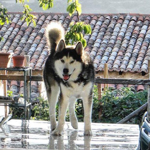 Mojandose entero con el riego del jardin jjaja Husky Dog Burgos Jardin