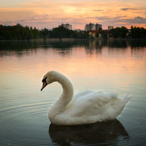 Water Lake Swan Bird Animal Animals In The Wild Sunset Sky Water Bird Reflection Swimming Waterfront One Animal Nature Beauty In Nature No People Floating On Water Animal Neck City
