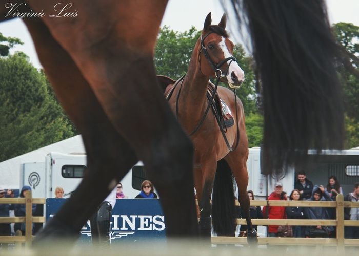 Horse Horse Riding Horse Photography  Horse Life Peneloppe Leprevost Jumping Cso Horselovers Horse Jumping Competition Horse Jumping Domestic Animals Horseriding Picture Pictures