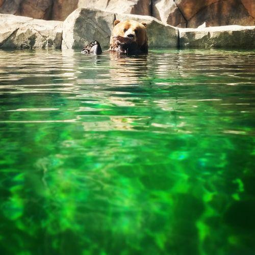 Taking a Dip Bear Swimming Grizzly Bear Closeup Closeupshot Animal Bearnecessities Brownbear Water Bird Reflection