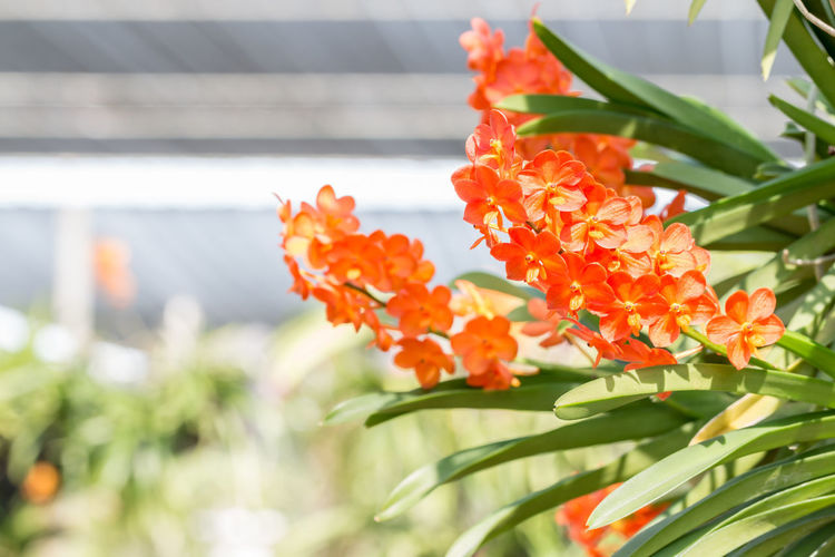 Orange orchids, Ascocenda, Vanda hybrids blooming in orchid house, in soft blurred style. Ascocenda Orchid Orchid Backdrop Scenery Backgrounds Beauty In Nature Bunch Of Flowers Close-up Flower Flowering Plant Focus On Foreground Fragility Freshness Growth Inflorescence Leaf Nature No People Orange Color Orchid Farm Orchid House Outdoors Petal Plant Plant Part Vulnerability