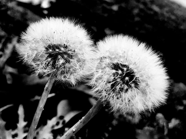 Dandelion Flower Growth Fragility Close-up Softness Stem Flower Head Plant Uncultivated Focus On Foreground Botany Blossom Freshness Beauty In Nature Selective Focus Springtime Nature In Bloom Day Blackandwhite Croatia Monochrome Photography