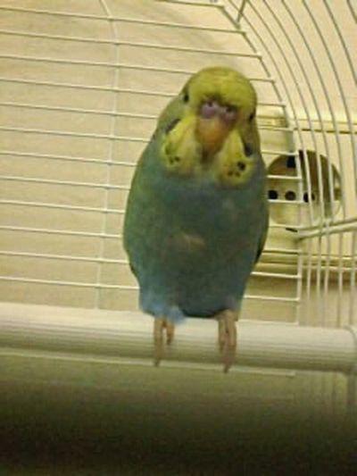Birds Muhabbetkusu Hamza ???