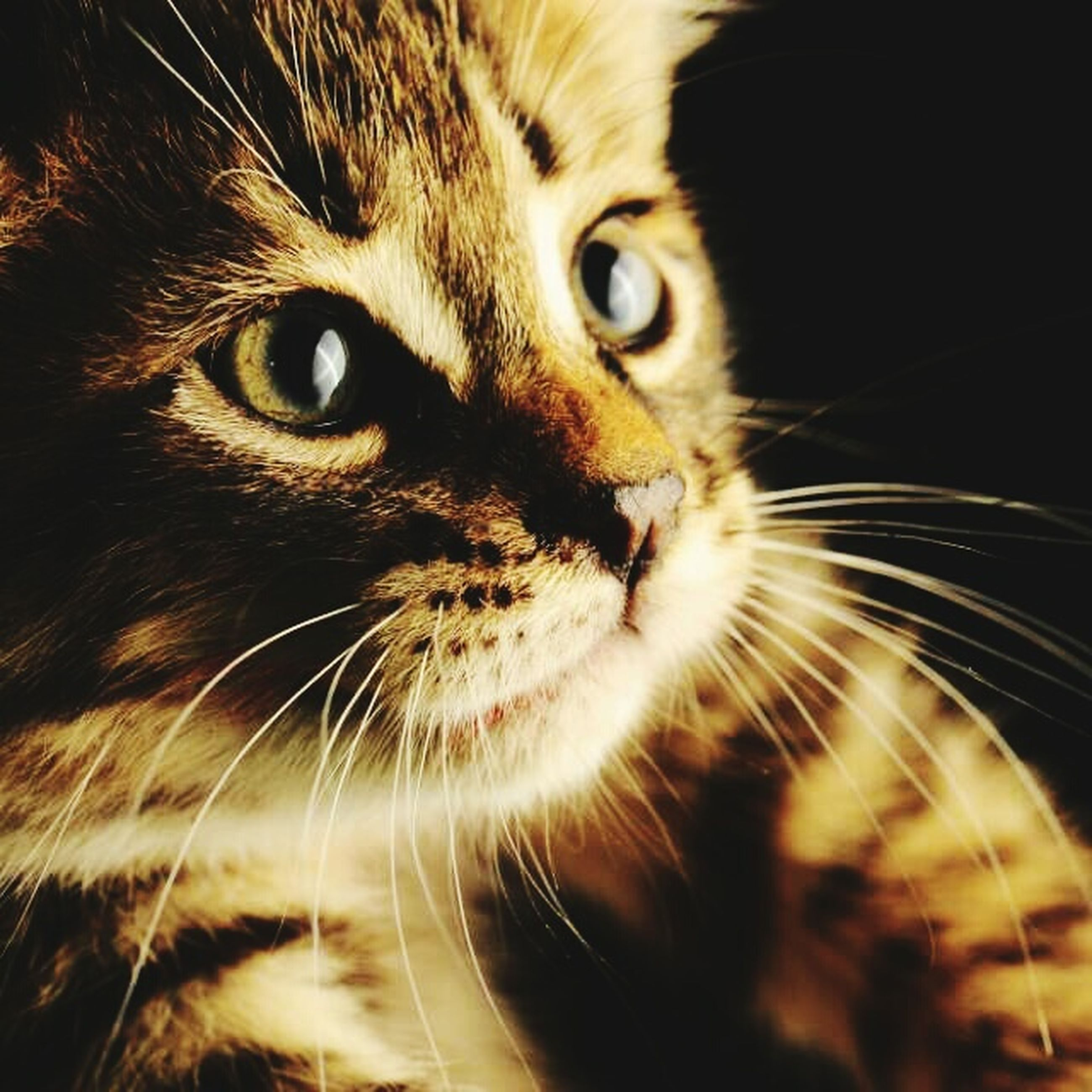 domestic cat, cat, feline, one animal, pets, whisker, animal themes, domestic animals, mammal, close-up, animal head, animal eye, portrait, looking at camera, indoors, staring, animal body part, alertness, whiskers