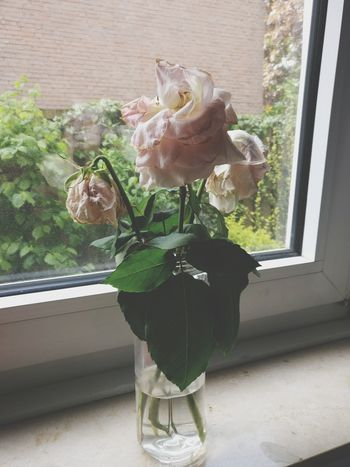 Flower Window Plant Window Sill Nature Growth Day Fragility Vase No People Flower Head Deadflowers Dead Plant Dead Rose White Color Rose - Flower