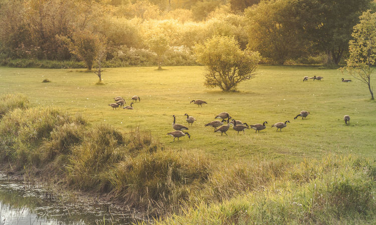 Animal Animal Themes Animals In The Wild Bird Birds Canada Geese Canada Goose Day Field Gaggle Of Geese Geese Grass Grassy Nature Ontario, Canada Outdoors Showcase September Sunny Sunny Afternoon The Week On EyeEm Tranquil Scene Tranquility Water Wildlife Zoology Betterlandscapes