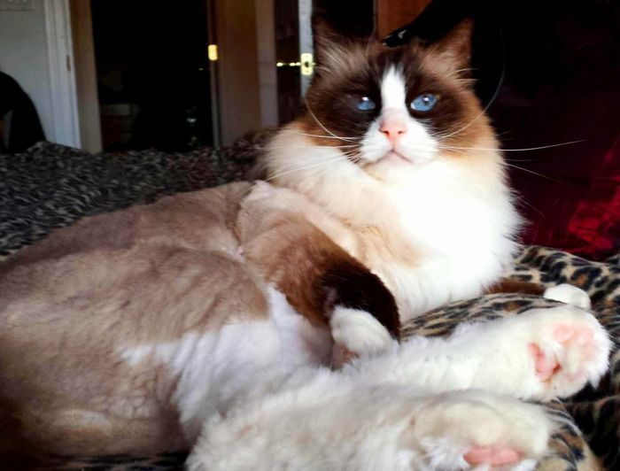 Cats Of EyeEm Seal Mitted Blue Eyed Cat Catitude Close-up Domestic Animals Domestic Cat No People Pets Purr-sonality Striking A Pose Whisker