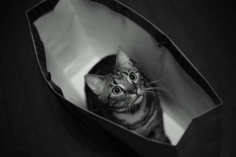 High Angle View Of Cat In Paper Bag