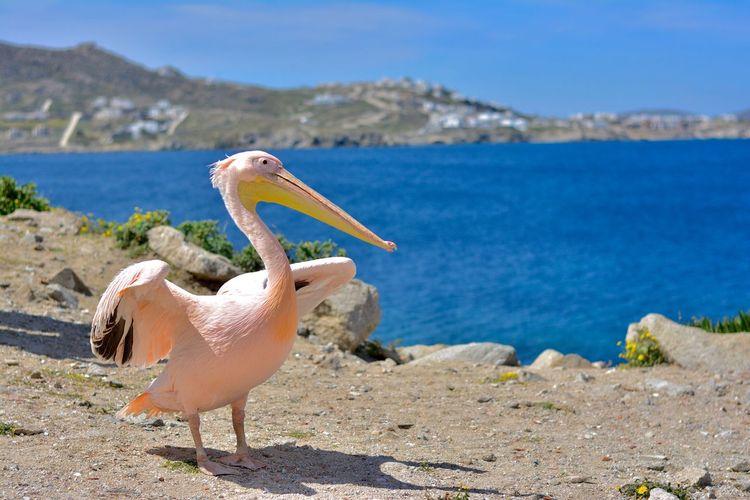 Pelican By Sea Against Sky