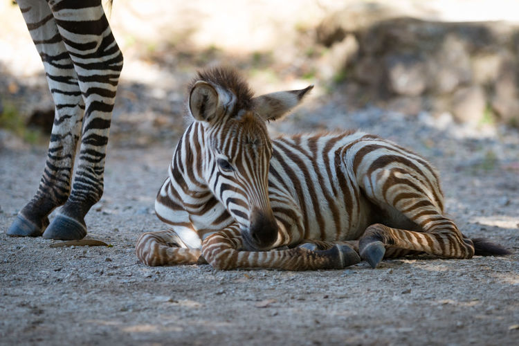 Animal Animal Themes Animal Wildlife Animals In The Wild Black Day Grevy's Zebra Human Body Part Imperial Zebra Low Section Lying Down Mammal Nature Nature One Person Outdoors Real People Standing Striped Stripes Tiger White Wildlife Zebra Zebra