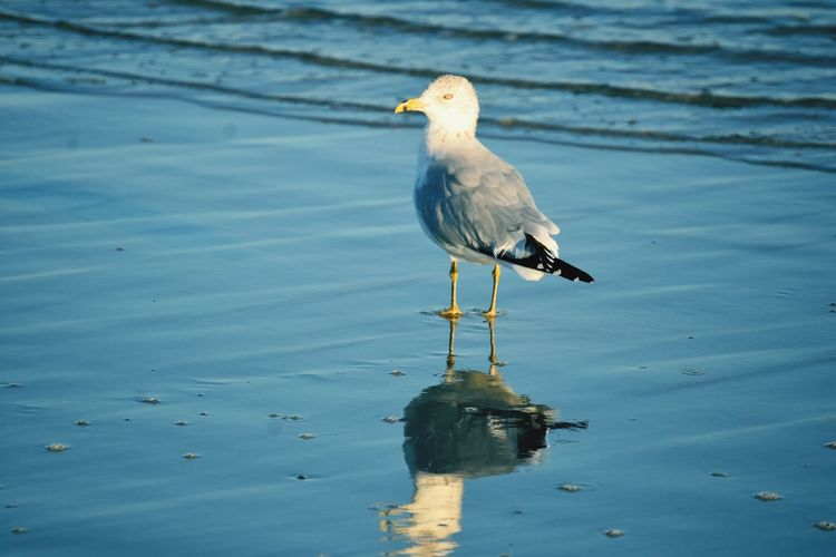 EyeEm Selects Animal Themes Animal Bird Animal Wildlife Vertebrate Animals In The Wild One Animal Nature Seagull Perching Reflection Outdoors Beach Water