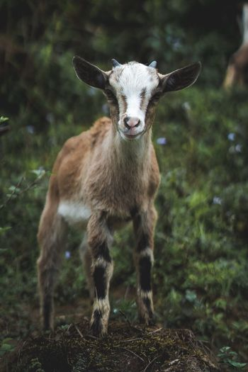 Goat Goat Animal Themes Animal Mammal Portrait Looking At Camera One Animal Vertebrate No People Domestic Animals Nature Land Field Livestock Plant Day Pets Standing Domestic Animal Wildlife Tree