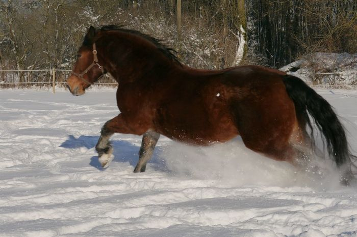 Rambo... unser Süddeutsches Kaltblut Horse Winter Snow Running Horse Animals It's Cold Outside